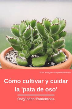 All about the cultivation and care of succulent Cotyledon or bear's foot – Cactus Cacti And Succulents, Planting Succulents, Cactus Plants, Succulent Containers, Starting A Vegetable Garden, Fall Planters, Succulent Care, Christmas Cactus, Garden Types