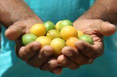 Frutto del Nordest che cresce nella #Caatinga, la macchia tipica della regione semiarida #brasiliana (Sertão). I grandi #alberi di umbù hanno radici capaci di contenere due o tre mila litri d'acqua e fruttificano anche nelle annate più siccitose. I #frutti sono rotondi, hanno una dimensione variabile, che va dalla ciliegia al limone, una buccia giallo-verde e una polpa succosa dal piacevole sapore agrodolce. #presidio #SlowFood #Brasile #SaloneDelGusto
