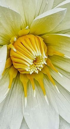 White & Yellow Dahlia