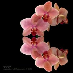 Orchids - Arch of Orchids on a black background.