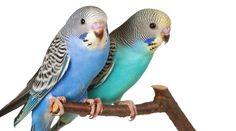 Veja alguma das melhores fotos de Periquitos Australianos e aproveite para conhecer outros detalhes sobre estes lindos pássaros que acabaram de nascer!