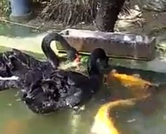 Des cygnes noirs nourrissant des poissons (8)