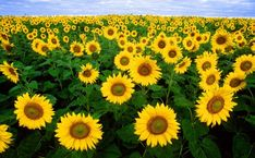 This site presents a complete Flower wallpaper images, presented to you seekers of information about wallpapers and Flower images. Dwarf Sunflowers, Planting Sunflowers, Paper Sunflowers, Sunflower Fields, Sunflower Oil, Blossom Garden, Tall Flowers, Science Photos, Organic Vegetables