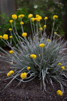 Conostylis 'Silver Sunrise' is a fantastic low growing Australian native, famed for its soft silvery foliage. It stands in a dense clump, and looks most effective when planted en masse. During spring and summer, 'Silversunrise' is adorned with a spectacular display of yellow flowers held above the foliage on silver stems.