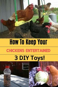 Keeping chickens can be hard, but luckily we are here to advise you how to keep your chickens entertained, and share our 3 easy making toys for them. Enjoy How To Keep Your Chickens Entertained & 3 DIY Toys! Types Of Chickens, Raising Backyard Chickens, Backyard Chicken Coops, Baby Chickens, Keeping Chickens, Diy Chicken Coop, Urban Chickens, Diy Toys For Chickens, Treats For Chickens