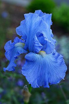 All Flowers, Exotic Flowers, Amazing Flowers, Beautiful Flowers, Blue Iris Flowers, Iris Painting, Blossom Garden, Iris Garden, Gardens
