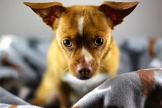 ADOPTED!!! Petango.com – Meet Chloe Beale, a 1 year 1 month Chihuahua, Short Coat / Dachshund, Miniature Smooth Haired available for adoption in REDMOND, WA @ motleyzoo.org