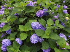 If you ever wished for a dreamy hydrangea garden, you'll love these simple tips for growing healthy, beautiful hydrangeas. From planting to pruning, watering, and fertilizing, you'll have everything you need. #hydrangeas #lanscaping #hydrangeaflowers #pinkhydrangeas #bluehydrangeas #purplrhydrangeas #romanticflowers Hydrangea Bloom, Hydrangea Care, Hydrangea Not Blooming, Hydrangea Flower, Large Plant Pots, Large Plants, Rooting Hydrangea Cuttings, Garden Care, Garden Tips
