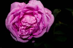 Rose by Amit Kaushal on 500px