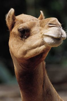 Nakhu - a camel that won't produce milk unless her nostrils are tickled
