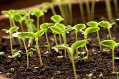 Многие растения положительно реагируют на обработку магнитным полем. Механизм воздействия магнитов до конца не выяснен. Однако есть предположение, что магниты концентрируют ионы растворенных в воде с…