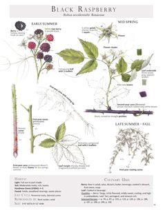 From the bookForaging & Feasting: A Field Guide and Wild Food Cookbookby Dina Falconi; illustrated by Wendy Hollender.