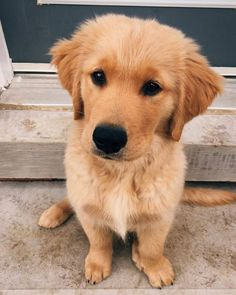 """Determine additional information on """"golden retriever puppy"""". Look into our web site. Positive Dog Training, Basic Dog Training, Training Tips, Retriever Puppy, Dogs Golden Retriever, Golden Retrievers, Dog Behavior, Dogs And Puppies, Doggies"""