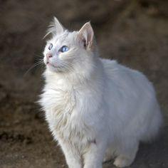 Os gatos são animais muito inteligentes, ativos e brincalhões. Todo o tempo estão bisbilhotando e tratando de acompanhar os donos por todas as partes para observar o que fazem. Ainda que sejam poucas as raças de gato populares e conhecidas, exitem muitas mais. Se você quer saber quais as raças mais ...