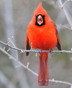 Northern Cardinal    Photo by JRidley1  http://honeygirl1946.tumblr.com