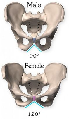Pubic arch sexual dimorphism medical Anatomy of the Pelvis Pelvis Anatomy, Anatomy Bones, Yoga Anatomy, Anatomy Study, Anatomy Reference, Anatomy Drawing, Skull Anatomy, Human Body Anatomy, Human Anatomy And Physiology