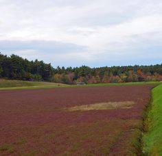 'Tis the Season to Tour Cranberry Bogs: See New England's Most Colorful Crop