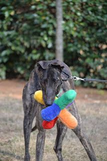 Hi, my name is RK's Happy Hour and I came from Jefferson County Kennel Club (JCKC) track in Monticello, Florida. I am a handsome dark brindle male greyhound. My pedigree and race record can be found at this link, Greyhound Data. If you'd like to meet me, please contact Suzanne or Patty at adopt@greyhoundadoption.org.