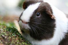 Jenny the Guinea Pig by Minabea, via Flickr