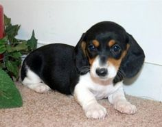 Cute Teacup Dachshund Puppies For Sale. Find Cute Teacup Dachshund Puppy Breeders Near You. Dachshund Puppies For Sale, Dachshund Rescue, Dapple Dachshund, Dachshund Love, Dachshund Breeders, Hound Dog Puppies, Weenie Dogs, Dogs And Puppies, Doggies