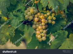 Find Ripe Vine Grapes stock images in HD and millions of other royalty-free stock photos, illustrations and vectors in the Shutterstock collection. Thousands of new, high-quality pictures added every day.