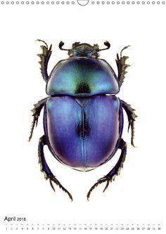 """Eins von zwölf Motiven aus dem Kalender """"Die schönsten Käfer 2018"""". Alle Bildkalender von WILDLIFE ART PRINT jetzt im Calvendo-Verlag! . . . . . #beetle #bug #käfer #insect #insekten #entomology #entomologie #closeshot #macro #artprint #poster #calendar #kalender #calvendo #calvendoverlag #livecolorfully #thehappynow #livethelittlethings #minimalmood #design #deko #dekoration #natur #nature #geschenkidee #giftidea"""