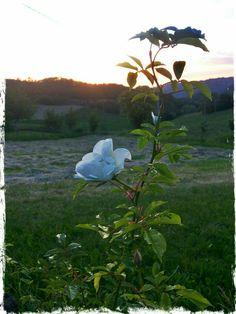 La mia prima rosa bianca al tramonto