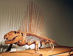 A skeleton of the synapsid Dimetrodon on display at the Field Museum of Natural History, mammal win. >> NY Times