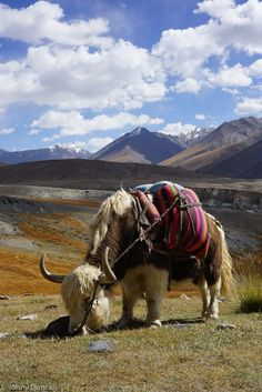 Yak in the Pamir Mountains of Afghanistan.
