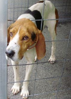 Treeing Walker Coonhound M named Dale in Marlinton, WV @ Pocahontas County Animal Shelter asapwva@gmail.com