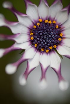 Pretty Petals ❀ :: African Daisy - by rosemary*