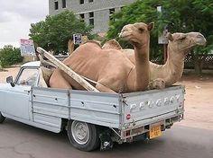 Quand les dromadaires sont en grève au Maroc!