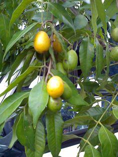 O cajá é o fruto da cajazeira (Spondias mombin). É também chamada de ambaló, ambaró, cajá-mirim, cajazinha, tapareba, taperebá, taperibá ou tapiriba. A cajazeira (Spondias mombin L.) é uma espécie frutífera da família Anacardiaceae. É originária da América tropical.  Na região sudeste do estado brasileiro da Bahia, a cajazeira é encontrada como árvore usada para sombreamento permanente do cacaueiro.