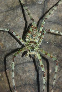 Huntsman spider (Heteropoda boiei) Flying Insects, Bugs And Insects, Spider Frog, Huntsman Spider, Spiders And Snakes, Bug Art, Beautiful Bugs, Mundo Animal, Amphibians
