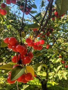 Surefire Pie Cherry - Dwarf _ Pie Cherries _ Cherries _ Fruit Trees