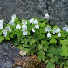 A Few Forays into Foraging from the Forest - The Permaculture Research Institute Oxalis Acetosella, Shamrock Plant, Irish Blessing, Plantation, Botanical Illustration, Permaculture, Backyard Landscaping, Garden Plants, White Flowers