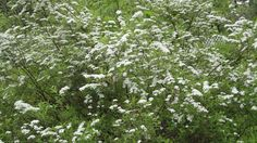 This old Spiraea Grefsheim keeps flowering year after year.