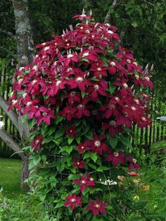 Clematis Plants, Clematis Flower, Clematis Vine, Dream Garden, Garden Art, Garden Plants, Garden Design, Exotic Plants, Exotic Flowers