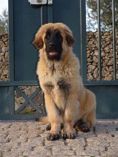 https://flic.kr/p/5s42fb | Estrela Mountain Dog, Estrela da Quinta da Liria