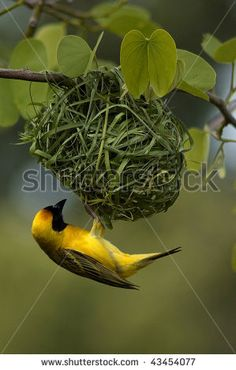Google Image Result for http://image.shutterstock.com/display_pic_with_logo/528460/528460,1261845885,1/stock-photo-male-weaver-bird-43454077.jpg