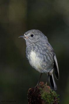 North Island Robin (Petroica longipes) endemic to New Zealand Sea Birds, Wild Birds, Robin, Extinct Birds, Birds Online, Bird Drawings, New Zealand Houses, Colorful Birds, Animals Of The World