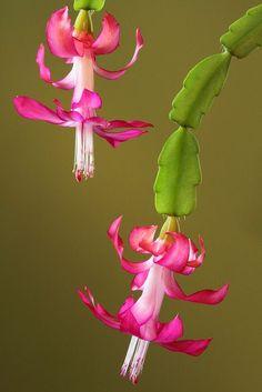 de kerst cactus is de plant van de maand