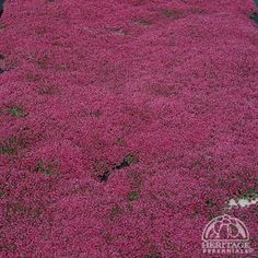 Thymus praecox (Coccineus) There are a great many selections of Thyme and all of them with some degree of spicy fragrance. This flat-growing Thyme features fragrant dark green leaves, smothered by bright magenta-red flowers in early summer. A strong grower, ideal as a drought-tolerant lawn substitute or for planting between flagstones, tolerating moderate traffic. Creeping Thyme is easily divided in spring or early fall, and even small pieces will take root and grow. Attractive to…