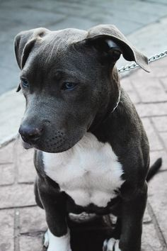 Love this Pitbull's blue eyes, adorable!