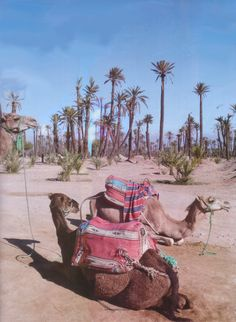 Shall we go for a camel tour through the Palmaraie in Marrakech? Moroccan Print, Moroccan Design, Exotic Places, Marrakech Morocco, Marrakesh, Camels, Arabian Nights, North Africa, Natural Wonders