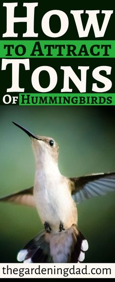 Learn How to Attract Tons of Hummingbirds with tips, tricks, and ideas for all bird watchers and gardeners. This article will explain how to make homemade nectar, how to better use your bird feeder, and different ways to attract different hummingbirds. Unique Bird Feeders, Best Bird Feeders, Diy Bird Feeder, Pet Feeder, Humming Bird Feeders, Humming Birds, Flea Market Gardening, Gardening Tips, Garden Whimsy