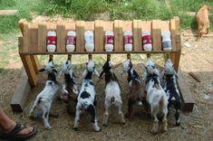 diy bottle Lamb Feeder - Google Search