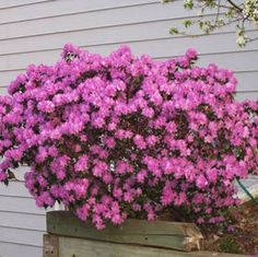 Blankets of Blooms on a Low-Maintenance Shrub - The PJM Rhododendron is called