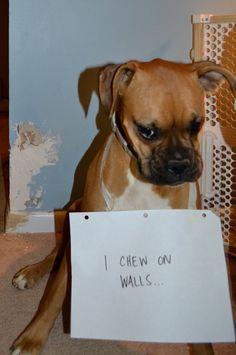 Brachycephalic Dogs a.k.a. I'll-Chew-Your-Wall Dog
