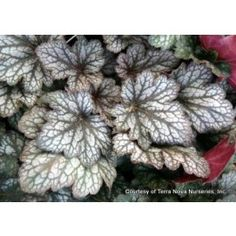 Heuchera 'Geisha's Fan': Grown in shade, in or out of a container, this foliage is beautiful. Large dark leaves with strong silver veiling. Small soft pink flowers are on tall stems. Outside Plants, Outdoor Plants, Outdoor Gardens, Coral Bells Plant, Coral Bells Heuchera, Buy Plants, Shade Plants, Garden Plants, Gray Gardens